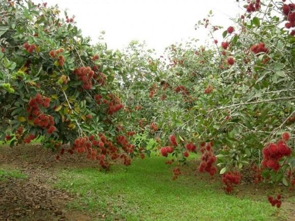 Vườn chôm chôm trĩu quả tại KDL Vĩnh Sang - Vĩnh Long