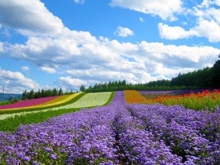 Hương sắc Furano - Hokkaido, Nhật Bản